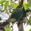 Parakeet Sulphur-winged-1949