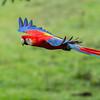 Macaw-Scarlet-0912