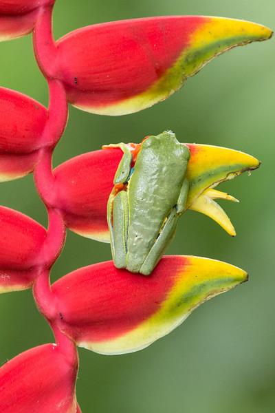 Frog-Gaudy-leaf-2341