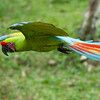 Macaw-Great-Green-0871