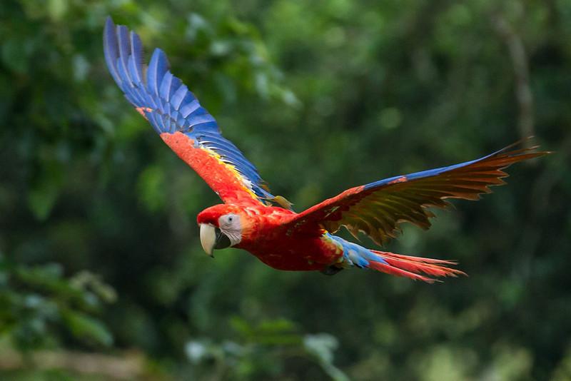 Macaw-Scarlet-0963