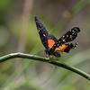 Butterfly-1721