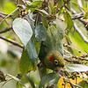 Parakeet Sulphur-winged-1919