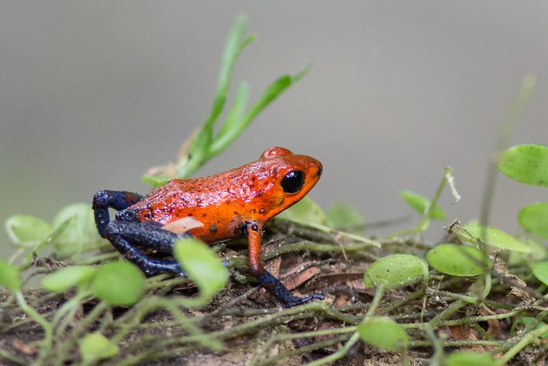 Dart-Frog-Blue-jeans-1631