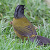 Finch-large-footed-2154