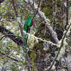 Quetzal-Resplendent-4412