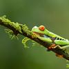 Frog-Gaudy-leaf-2424