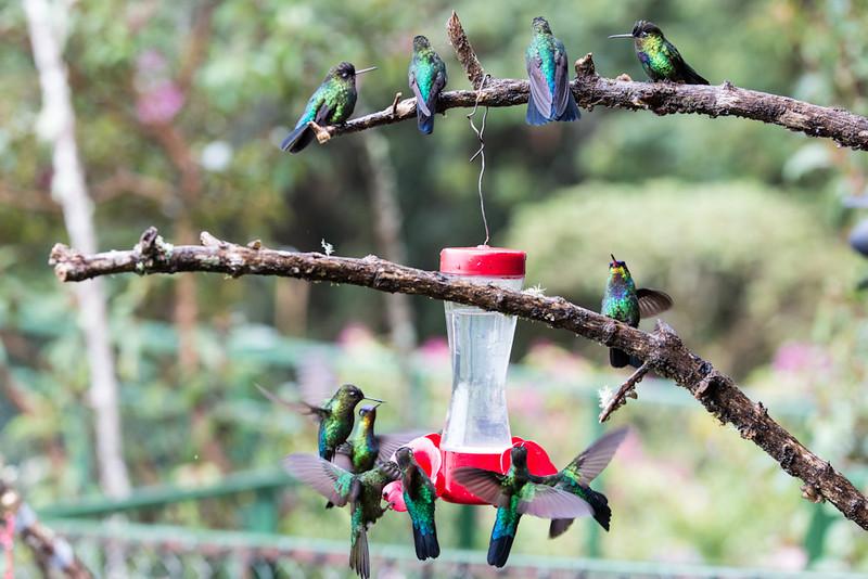 Hummingbird-Fiery-Throated-Many-4072