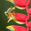 Frog-Gaudy-leaf-2382