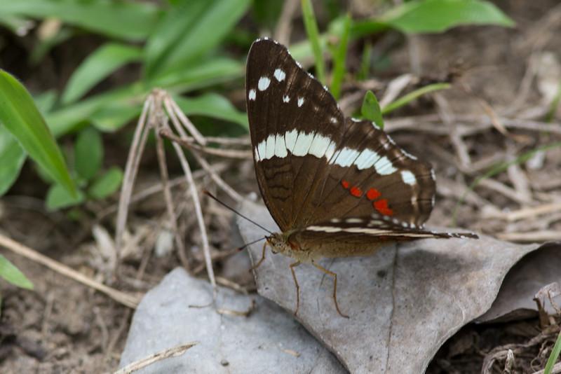 Butterfly-1700