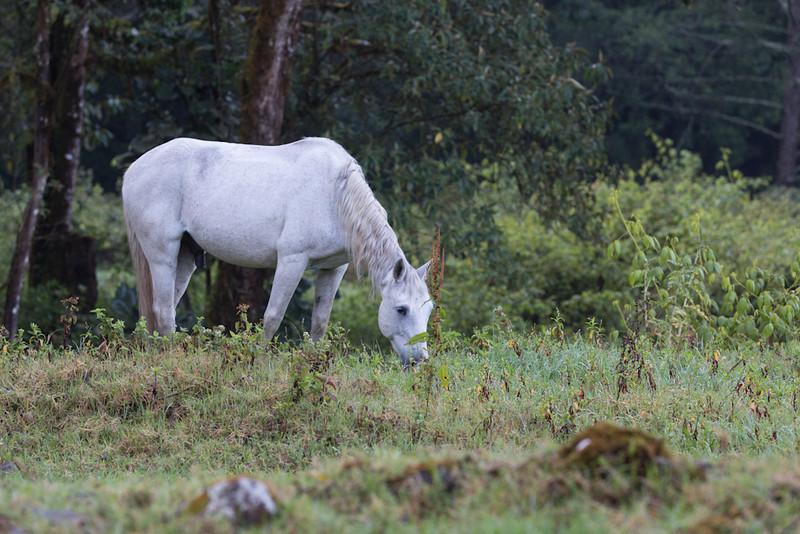 Horse-white-4469