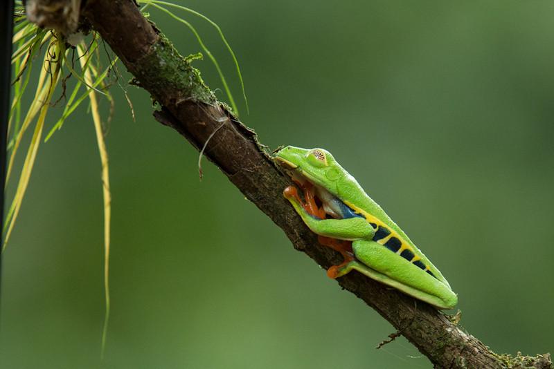 Frog-Gaudy-leaf-2417