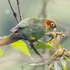 Parakeet Sulphur-winged-1931