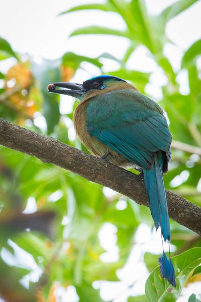 Motmot-Blue-crowned-5817