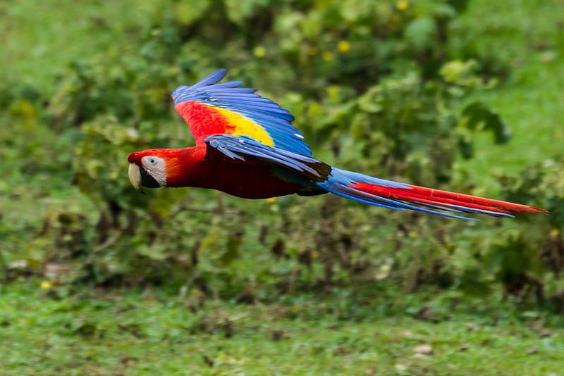 Macaw-Scarlet-0943