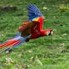 Macaw-Scarlet-0883