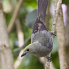 Tanager-Palm-5001