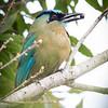 Motmot-Blue-crowned-5842