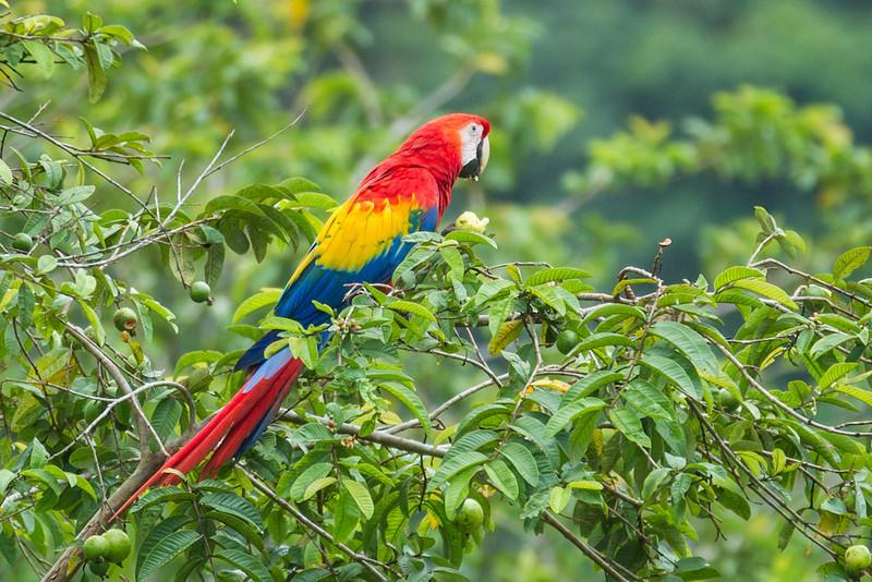 Macaw-Scarlet-0929