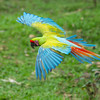 Macaw-Great-Green-0869