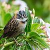 Sparrow-Rufous-collared-5414