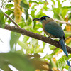 Motmot-Blue-crowned-5806
