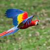Macaw-Scarlet-0890