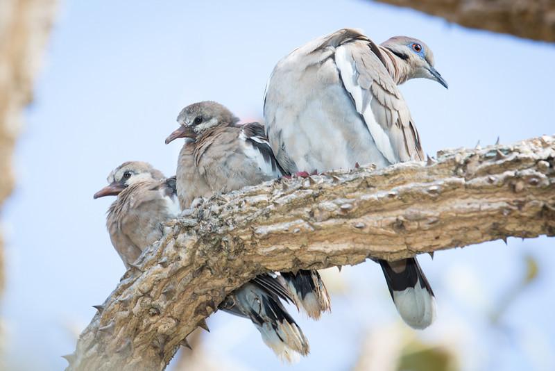 Dove-White-winged-5871