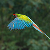 Macaw-Great-Green-0968