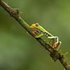 Frog-Gaudy-Leaf-2528