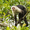 Capuchin-White-Throated-9940