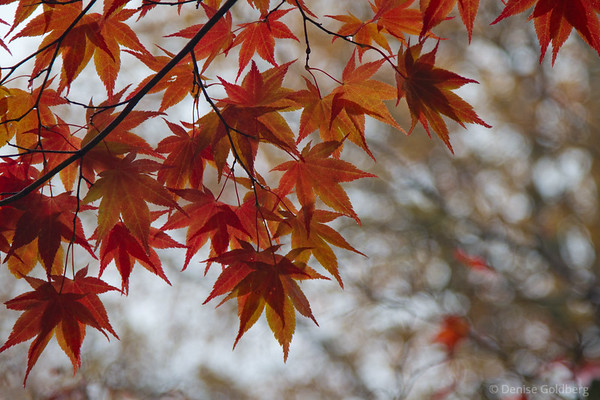 leaves of a Japanese maple, wearing autumn colors