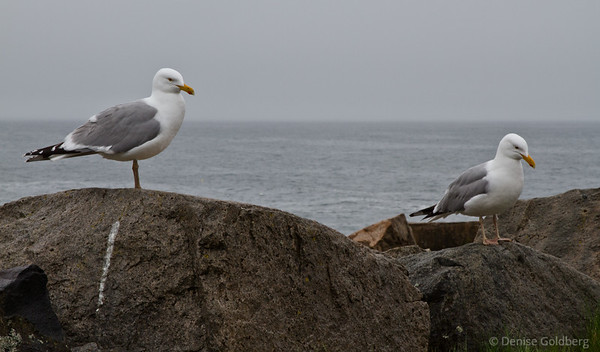 sea gulls perched, on the Schoodic Peninsula