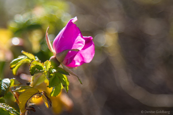 a late blooming wild rose