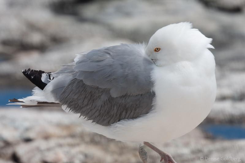 Posing sea gull