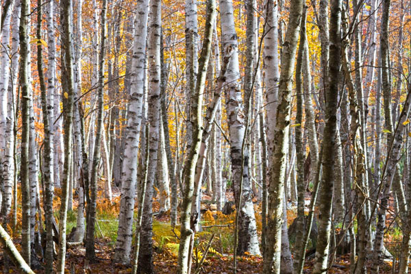 This was taken in the Wild Gardens of Acadia. Many of the birch trees had dropped their leaves about a week earlier. The trunks of these birch trees along with the leaves that still remained created what I thought was a very attractive scene.