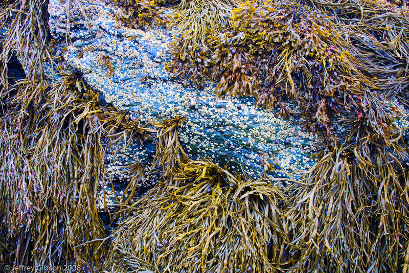 Bass Harbor rock with kelp and barnacles.