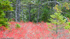 This was taken at Wonderland in Bass Harbor.  The red plants are blueberry thickets.