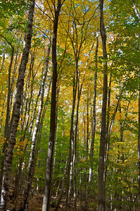 Birches, Sieurs du Monts, Acadia National Park