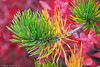 The red leaves of the blueberries provided a pleasant background for these pine needles.