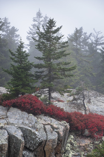 trees in Acadia, on a gray day