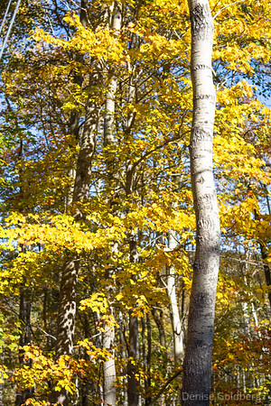 white birch wearing autumn colors