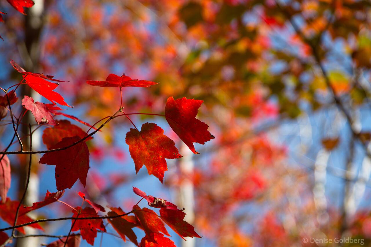 bright red, autumn maples