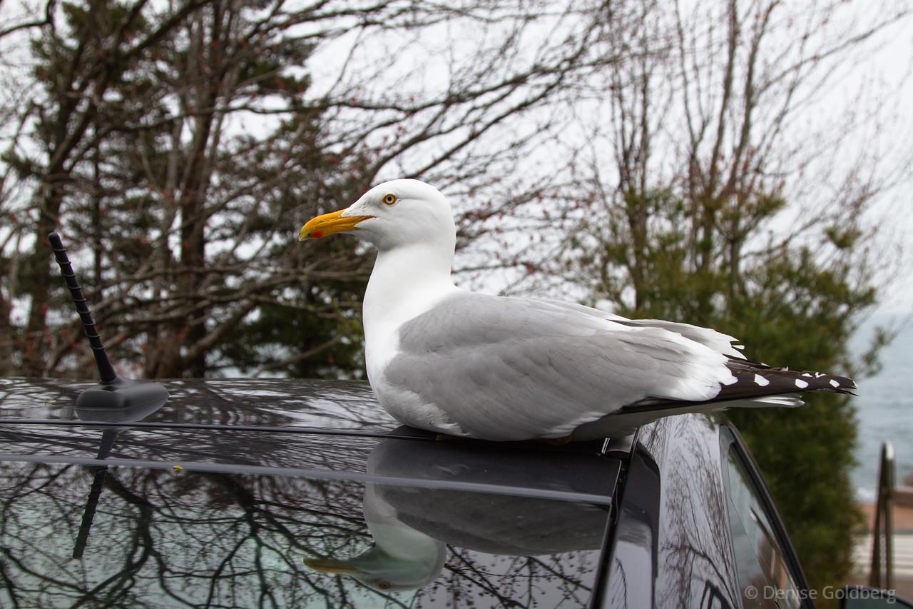 sea gull sitting on car