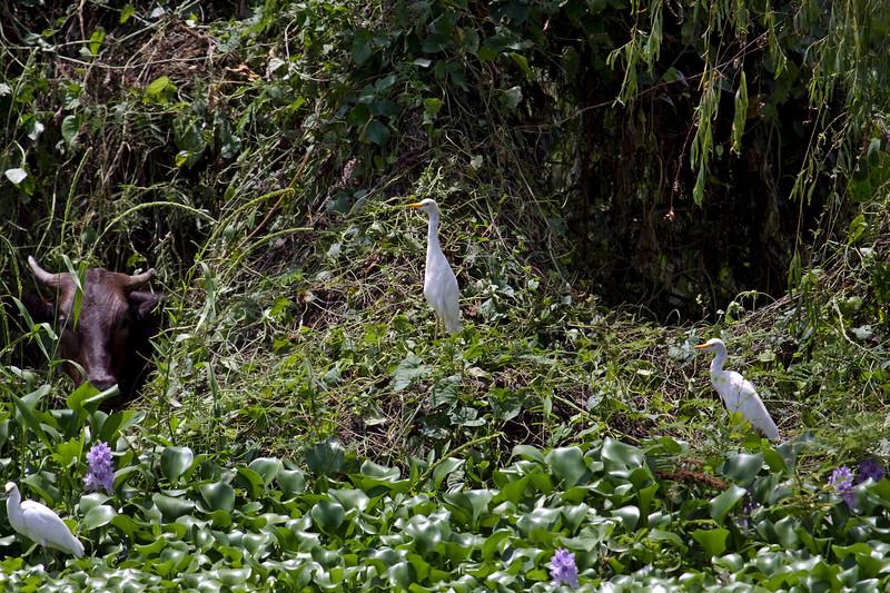 Egrets on Guard