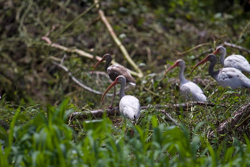 White Ibis?
