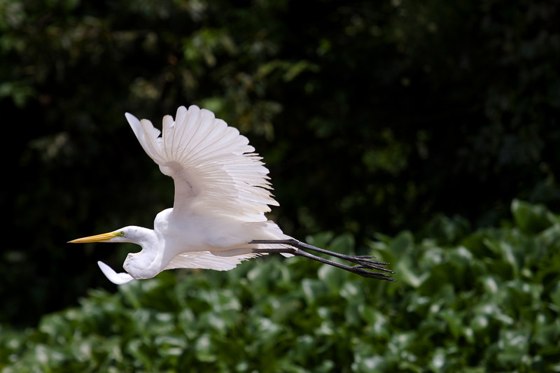 Jungle Contrasts<br /> I finally got close enuf to some egrets to get some full-frame in-flight shots.  I was so excited!