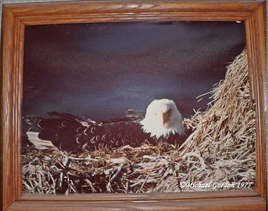 """This is what it looks like when you get less than 5 feet from the nest! Michael """"Flash"""" Gordon took this pic--which hangs in an honored place in our home (the only photo on the wall of our bedroom). You can view Mike's full, wonderful eagle collection at http://www.orneveien.org/adak/ ."""