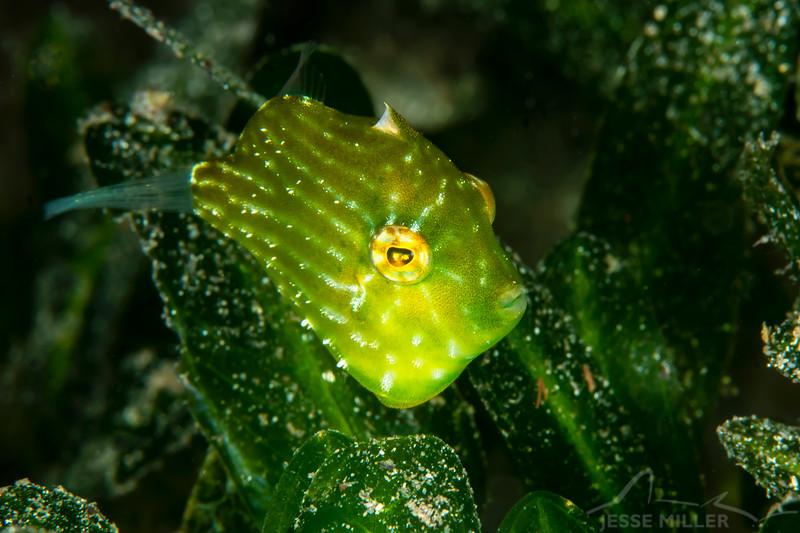 Southern Pygmy Leatherjacket - Edithburgh Dive #1