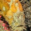 Prickly Anglerfish (Frogfish)